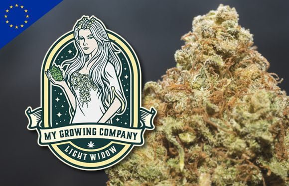 white widow cannabis cbd indoor legal en europe legal en france
