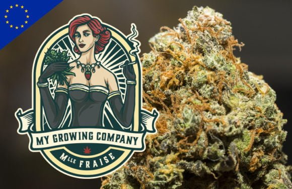 strawberry kush cannabis cbd cbd indoor my growing company